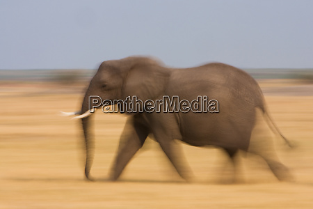 african elephant botswana
