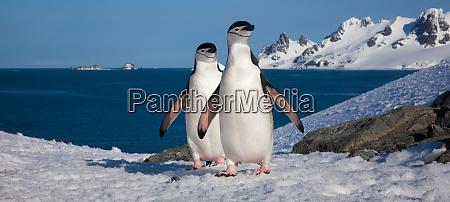 chinstrap penguins half moon island south