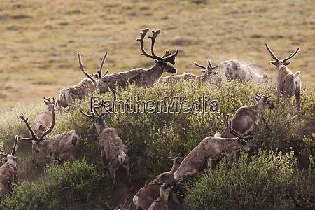caribou migrate through the arctic national