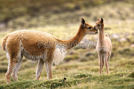guanaco cria lauca national park chile