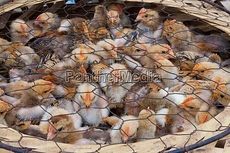 chicks for sale at market yuanyang