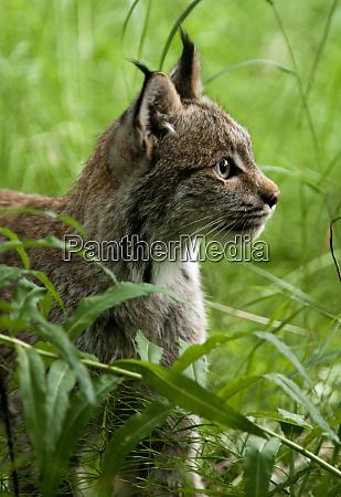 canada lynx katmai national park alaska
