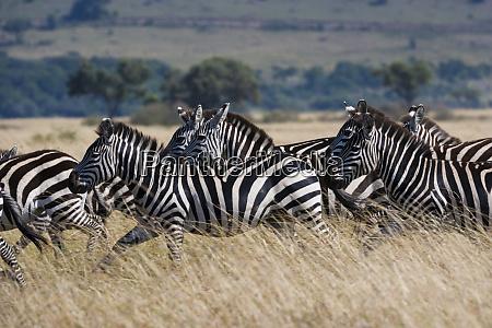 grants zebras kenya