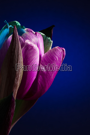 blossom of one rainbow tulip