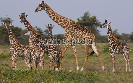 a small group of masai giraffe