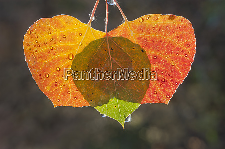 three aspen leaves with the light