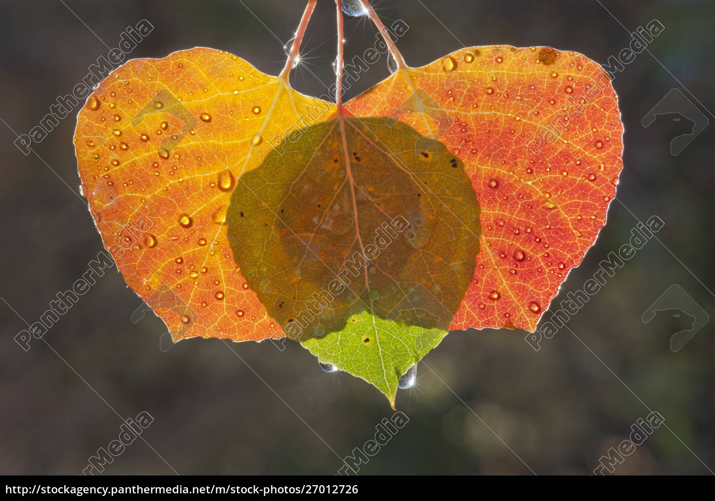 three, aspen, leaves, with, the, light - 27012726