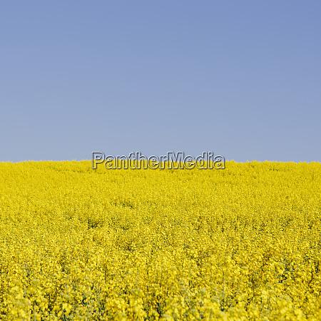 field of blooming mustard seed plants