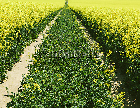 road through field of yellow flowering