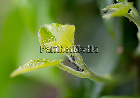 aphid colony in a plant
