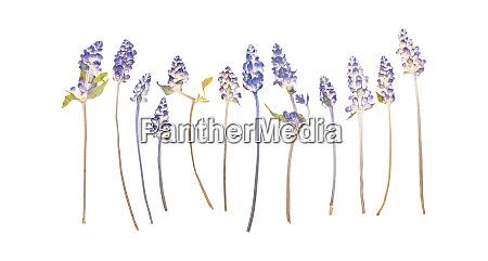 set of pressed dried lavender flowers