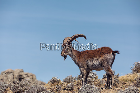 rare walia ibex in simien mountains