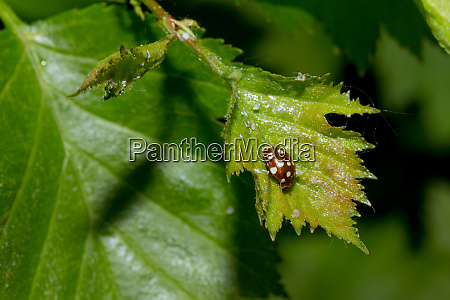 cream spot ladybird on green leaf