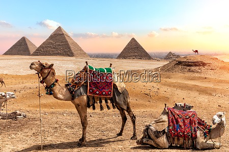 camels near the pyramids beautiful egyptian