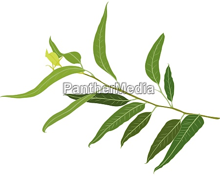 a brunch of eucalyptus vector illustration