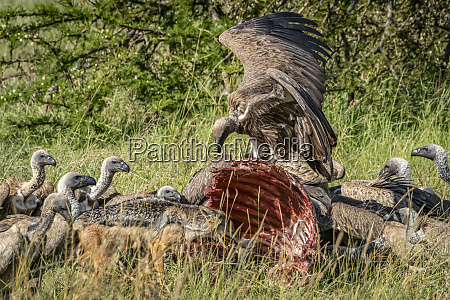 african white backed vultures gyps africanus