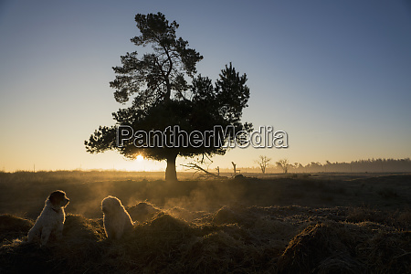 dogs in idyllic field at sunset