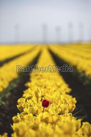 germany yellow tulip field with single
