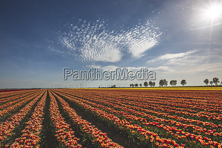 germany landscape with tulip fields