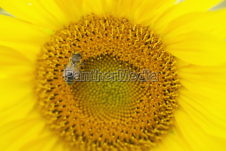 foraging bee on sunflower close up