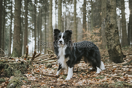 border collie in the forest
