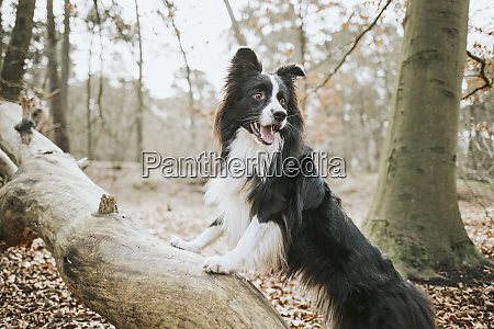 border collie standing on trunk in