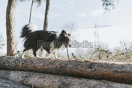 border collie walking on tree log