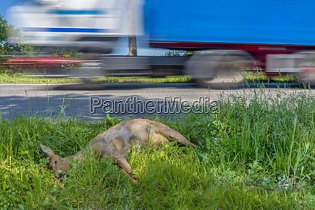 germany dead deer at roadside ditch