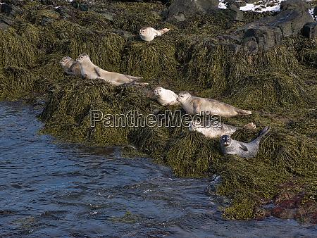 seals sunbathe on the north coast