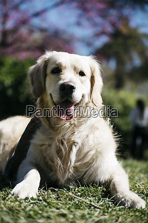 portrait of labrador retriever lying on