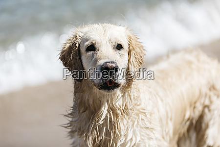 portrait of wet labrador retriever on