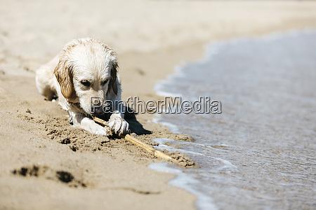 labrador retriever lying on the beach