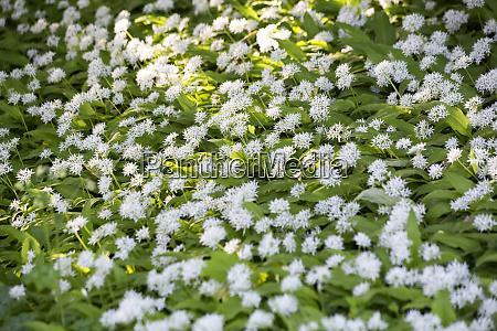 flowering ramson