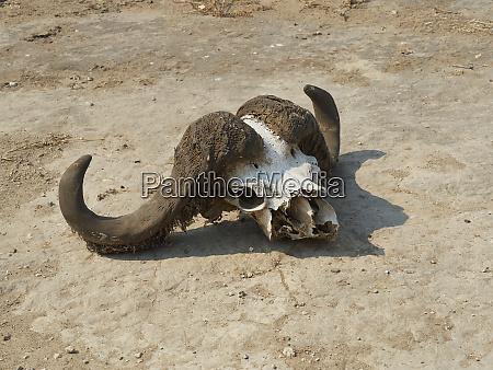 africa botswana ihaha chobe national park