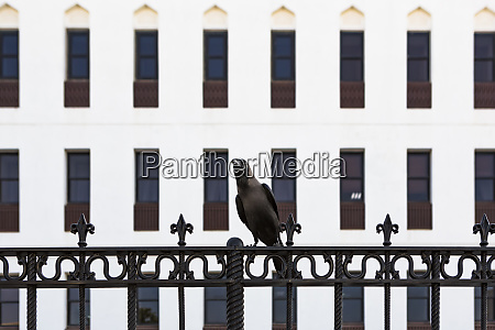 sultanate of oman muscat crow perching