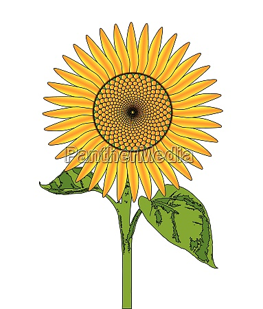 giant bright sunflower drawing