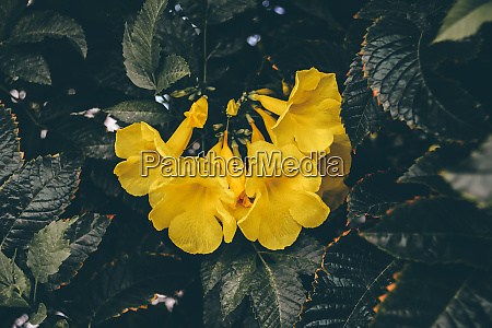 yellow flowers of the trumpet vine