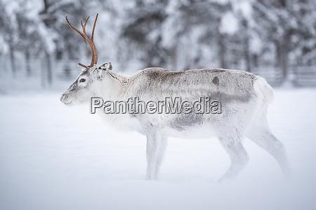 reindeer at torassieppi reindeer farm lapland