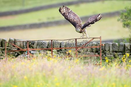 eurasian eagle owl bubo bubo adult
