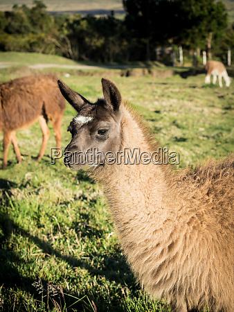llama cotopaxi region andes mountains ecuador