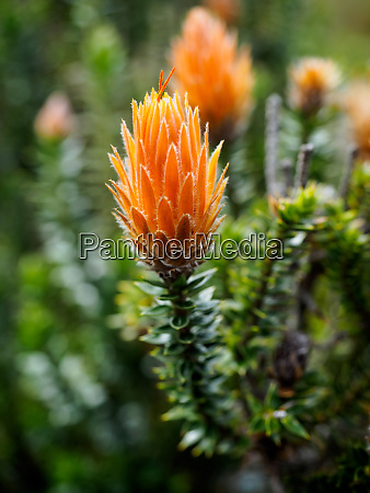 orange tipped chuquiraga plant used medicinally