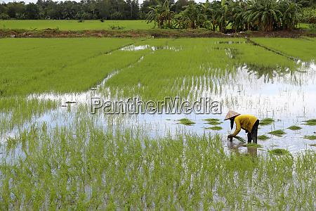 woman farmer working in a rice