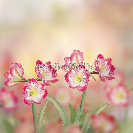 amaryllis flowers in the garden