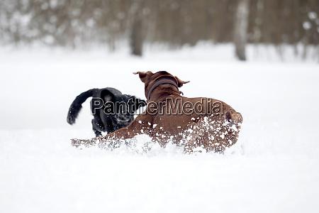 a red brown labrador retriever in