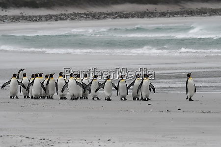 the march of the king penguins