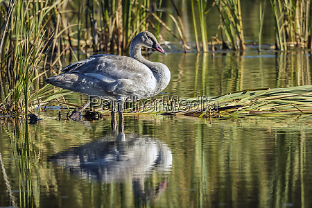 side view of tundra swan