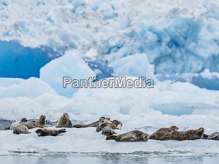 adult harbour seals phoca vitulina hauled
