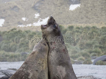 young bull southern elephant seals mirounga