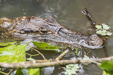 an adult spectacled caiman caiman crocodilus
