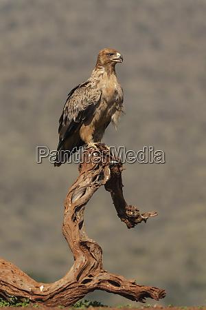 tawny eagle aquila rapax zimanga